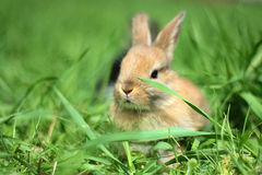 Conejo enano Foto de archivo libre de regalías