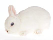 Conejo enano blanco de ojos azules de Netherland, en blanco Foto de archivo