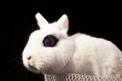 Conejo enano de Hotot en cesta en fondo negro Fotografía de archivo