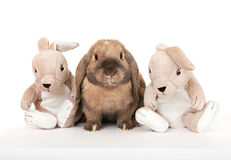 Conejo enano en la compañía de los conejos del juguete. Imagenes de archivo