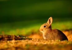 Conejo europeo (cuniculus del Oryctolagus) en puesta del sol Imagen de archivo