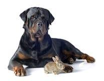 Conejo europeo y rottweiler Imagen de archivo libre de regalías