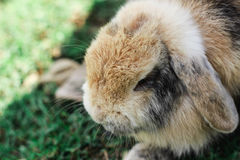 Conejo gigante enojado Imagen de archivo libre de regalías