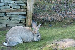 Conejo gigante flamenco imagen de archivo