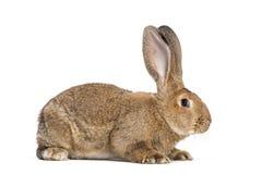 Conejo gigante flamenco, 6 meses fotos de archivo libres de regalías