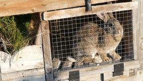 Conejo grande gris que se sienta en una jaula en un pueblo almacen de video