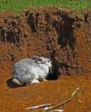 Conejo gris Fotos de archivo