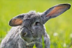 Conejo gris Imagen de archivo libre de regalías