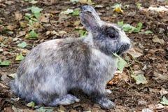 Conejo gris Imagenes de archivo
