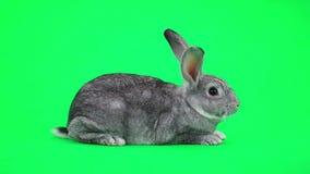 Conejo gris metrajes