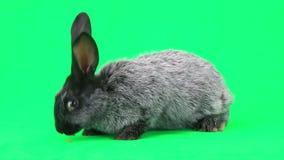 Conejo gris almacen de video