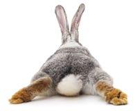 Conejo gris fotografía de archivo libre de regalías