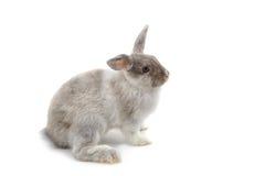Conejo gris del bebé fotografía de archivo libre de regalías