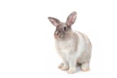 Conejo gris del bebé foto de archivo