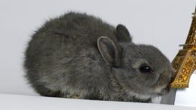 Conejo gris en estudio almacen de metraje de vídeo