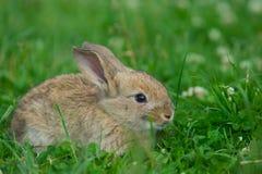 Conejo gris en un césped verde Fotografía de archivo