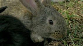 Conejo gris joven que come la hierba Fotos de archivo
