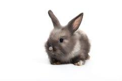 Conejo gris lindo del bebé que se sienta en el fondo blanco Imagen de archivo libre de regalías