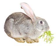 Conejo gris que come la hoja de la zanahoria Imágenes de archivo libres de regalías