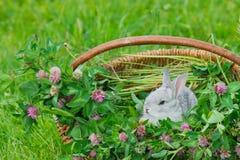 Conejo gris que se sienta en la cesta Fotografía de archivo