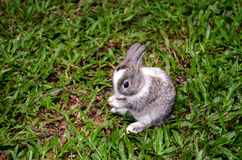 Conejo gris y blanco en la hierba Foto de archivo libre de regalías