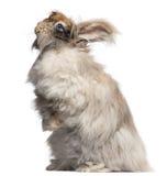 Conejo inglés del angora delante del fondo blanco Fotografía de archivo libre de regalías