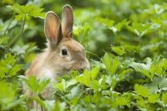 Conejo joven Fotos de archivo