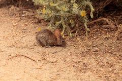 Conejo juvenil, bachmani del Sylvilagus, conejo salvaje del cepillo imagen de archivo