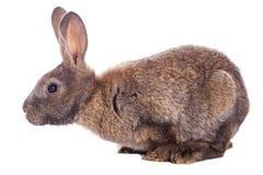 Conejo lindo Fotografía de archivo