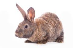 Conejo lindo Foto de archivo libre de regalías