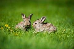 Conejo lindo con el diente de león de la flor que se sienta en hierba Hábitat de la naturaleza animal, vida en prado Conejo europ fotografía de archivo