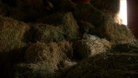 Conejo lindo que descansa sobre el heno en la crianza de la granja metrajes
