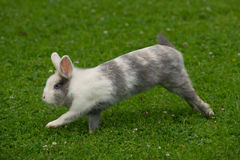 Conejo lindo que salta en hierba verde Fotografía de archivo libre de regalías