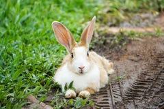 Conejo lindo que se acuesta en la hierba y el suelo en día de verano Fotografía de archivo