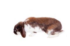 Conejo manchado marrón de orejas ca3idas Foto de archivo