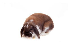 Conejo manchado marrón de orejas ca3idas Imágenes de archivo libres de regalías