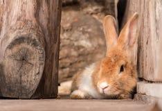 conejo marrón foto de archivo