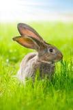 conejo marrón Imagen de archivo libre de regalías