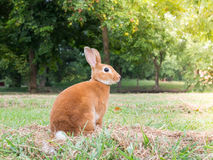 conejo marrón Fotografía de archivo libre de regalías