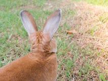 conejo marrón Fotos de archivo