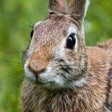 Conejo marrón del este Fotos de archivo