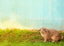 Conejo marrón lindo en hierba con el fondo azul Fotos de archivo libres de regalías