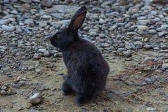 Conejo miniatura que pasta en la naturaleza Fotos de archivo libres de regalías