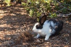 Conejo miniatura que pasta en la naturaleza Fotos de archivo