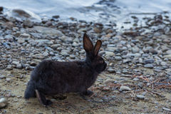 Conejo miniatura que pasta en la naturaleza Fotografía de archivo libre de regalías