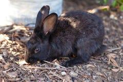 Conejo miniatura que pasta en la naturaleza Fotografía de archivo