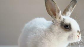 Conejo mullido lindo que se sienta en la tabla, campaña de la protección de los derechos de los animales, humanidad metrajes