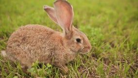 Conejo nacional que camina en un prado almacen de metraje de vídeo