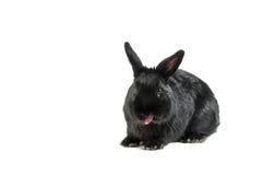 Conejo negro aislado en el fondo blanco que se pega la lengua hacia fuera Fotografía de archivo