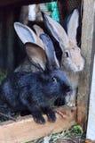 Conejo negro con los amigos Imagenes de archivo